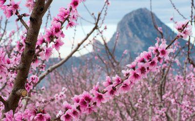 Un proyecto de innovación murciano creará la primera flor ornamental de un frutal de hueso en el mundo