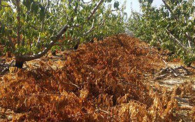Los restos de poda pueden ser origen de plagas