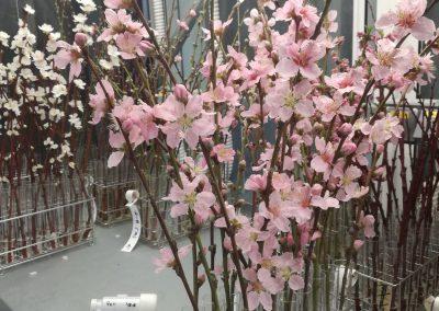 Flores de melocotonero