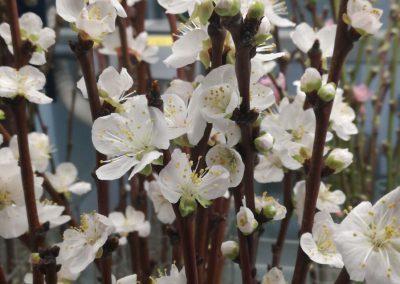 Flores de albaricoquero