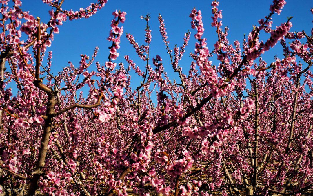 """Las heladas """"paran"""" la floración de frutales que llevaba dos semanas de adelanto"""
