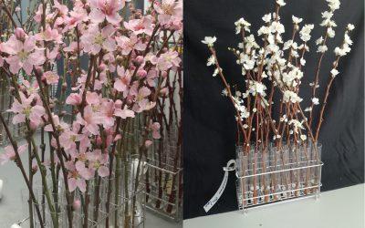Imida y Cebas realizan los primeros ensayos con restos de poda de melocotoneros para obtener flores ornamentales