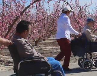 Personas con movilidad reducida de toda España obsequiados con flores de melocotonero en la Ruta Floración Accesible